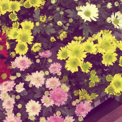 29-4-2015 skorpios -xrysanthema
