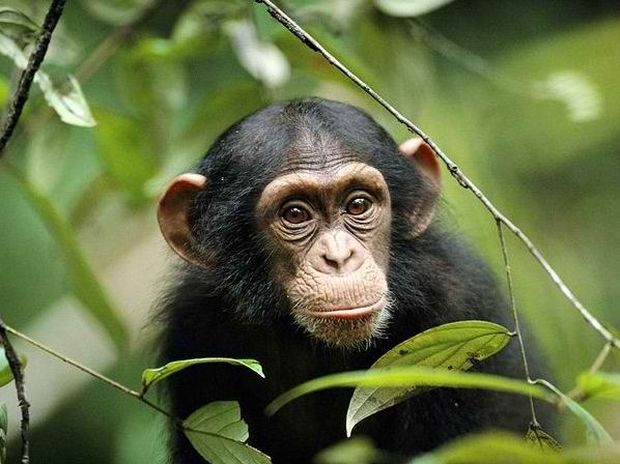 To be or to chimpanzee?