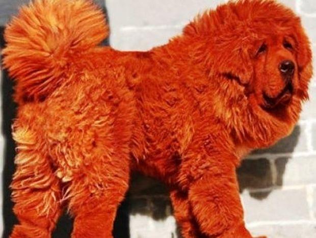 Ποιο είναι το πιο ακριβό σκυλί του κόσμου;