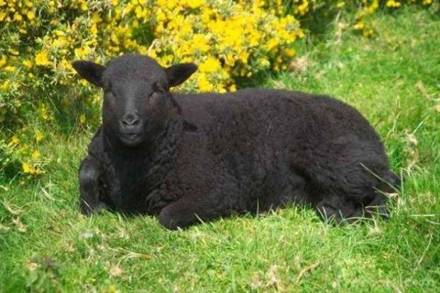 Τα μαύρα πρόβατα-Παρθένοι