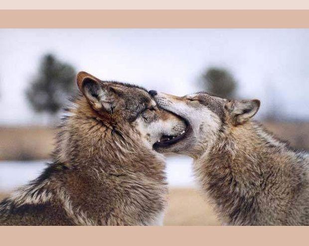Οι δυο Λύκοι