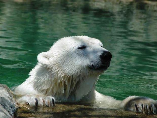 Πολικές αρκούδες – κανίβαλοι λόγω κλιματικής αλλαγής
