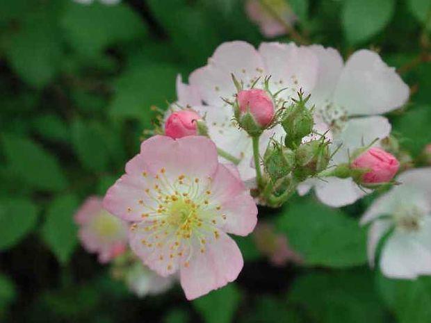 Ανθοΐαμα Wild Rose: Μαχητικότητα vs Ηττοπάθεια