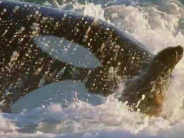 Φάλαινα «δολοφόνος» βγήκε στη στεριά για «κυνήγι» (video)
