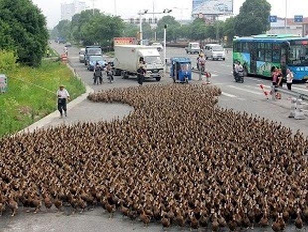 ΑΠΙΘΑΝΟ: Αγρότης βγάζει βόλτα τις 5.000 πάπιες του!