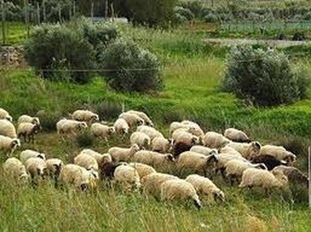 Απίστευτα ανορθόγραφη αγγελία για 150 γιδοπρόβατα!