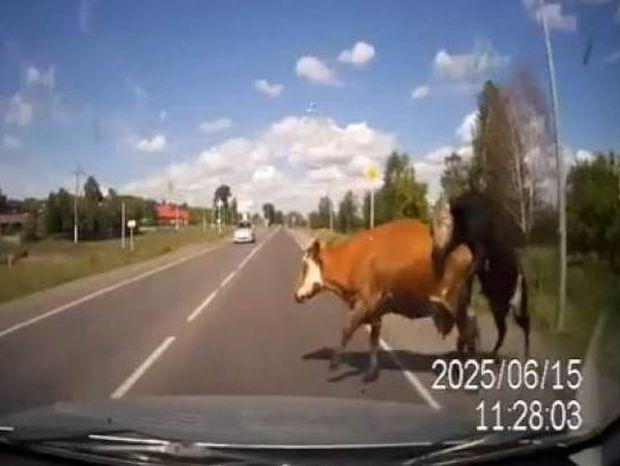 Το βίντεο που σαρώνει: Οδηγός τρακάρει με αγελάδες που κάνουν σεξ!