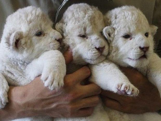 ΥΠΕΡΟΧΕΣ ΕΙΚΟΝΕΣ: Τριπλή χαρά σε ζωολογικό κήπο της Ιαπωνίας