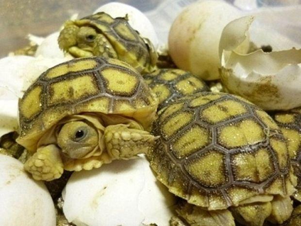 ΑΠΙΘΑΝΕΣ ΕΙΚΟΝΕΣ: Χελωνάκια… σκάνε απ' το αυγό