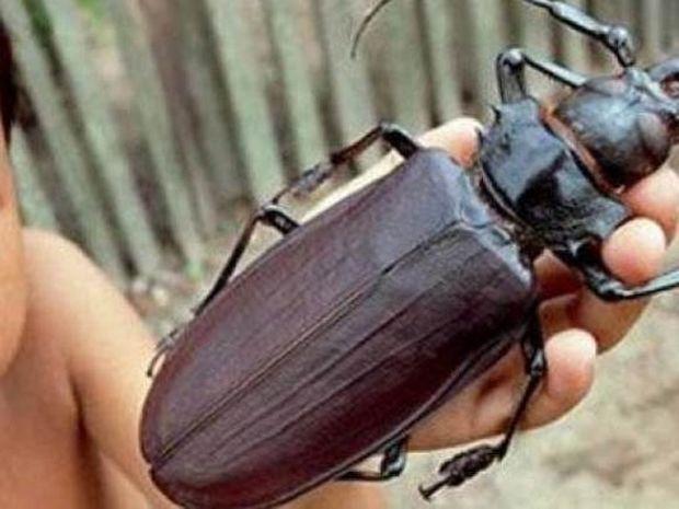 Δείτε: Σπάνιο σκαθάρι έχει μήκος μία παλάμη ενήλικα και φονικά σαγόνια