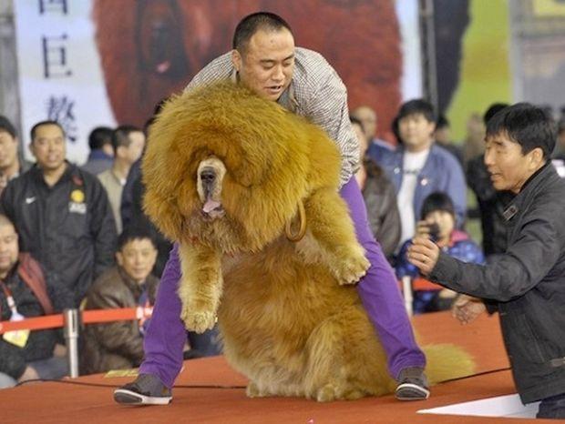 Θιβετιανό Μαστίφ, το ακριβότερο είδος σκύλου!