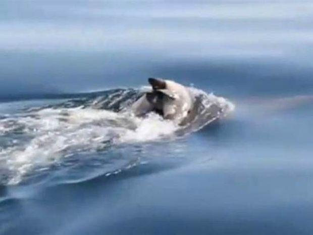 Συγκλονιστικό βίντεο: Δελφίνι κουβαλάει το νεκρό μωρό του