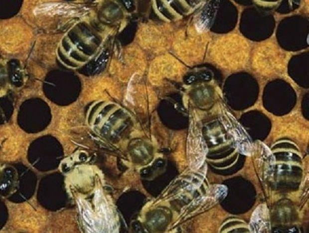 Οι επιστήμονες ανακαλύπτουν τι σκοτώνει τις μέλισσες και είναι χειρότερα από ότι νομίζατε!!!