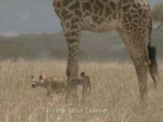 Αυτή η μαμά καμηλοπάρδαλη θα σας κάνει να δακρύσετε (video)