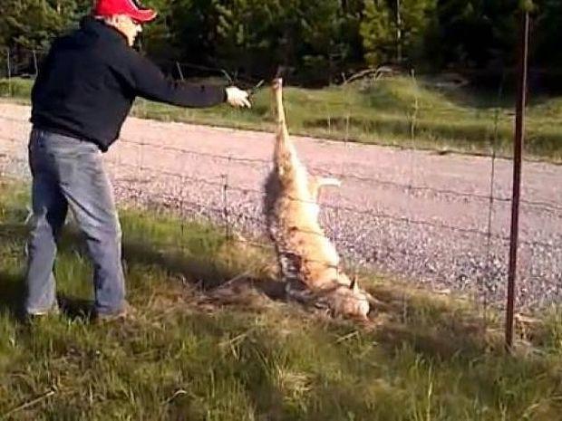 Η απελευθέρωση ενός καταδικασμένου λύκου (vid)
