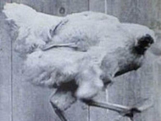 Η εντυπωσιακή αληθινή ιστορία του ακέφαλου κόκκορα!