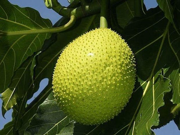 Αρτόκαρπος: Νέο τρόφιμο θαύμα;