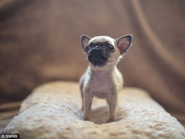 Το λένε Pip και είναι ίσως το πιο μικροσκοπικό αλλά και το πιο γλυκό σκυλάκι που έχετε δει!