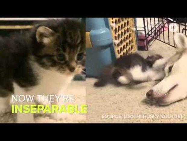 Χάσκι υιοθετεί γατί και το internet υποκλίνεται (video)
