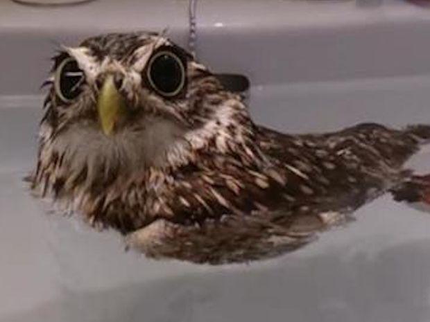 Αυτή η μικρή κουκουβάγια απολαμβάνει το μπάνιο της και ξετρελαίνει το διαδίκτυο!