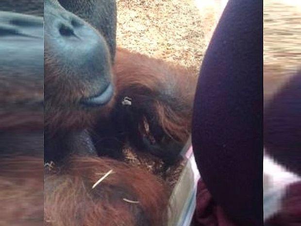 Μια έγκυος γυναίκα δεν περίμενε αυτή τη γλυκιά αντίδραση του ουρακοτάγκου που πλησίασε!