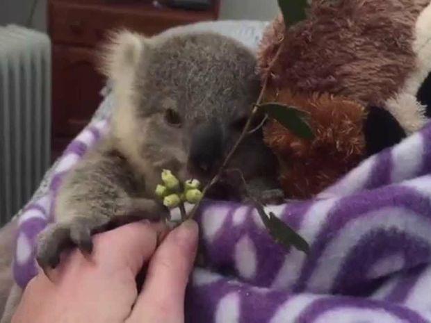 Συγκινητικό! Δε θα πιστεύετε γιατί ένα ζευγάρι υιοθέτησε αυτό το μικρό κοάλα! (video)