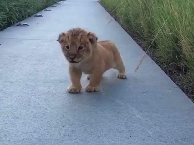 Η προσπάθεια του μικρού λιονταριού να φανεί άγριο είναι ό,τι πιο γλυκό θα δείτε σήμερα! (video)