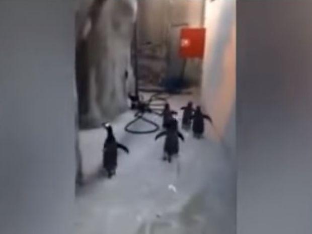 Πιγκουινάκια εν δράσει: Προσπαθούν να αποδράσουν αλλά… (video)