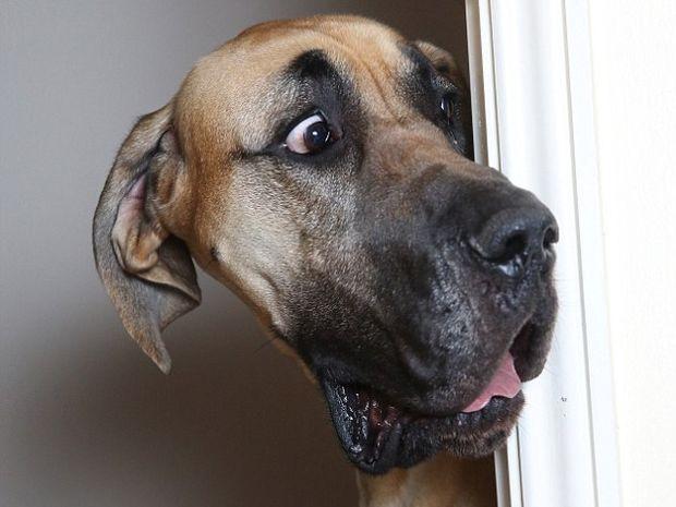 Απίστευτο! Δείτε το σκύλο γίγαντα που φοβάται και τη σκιά του! (photos)