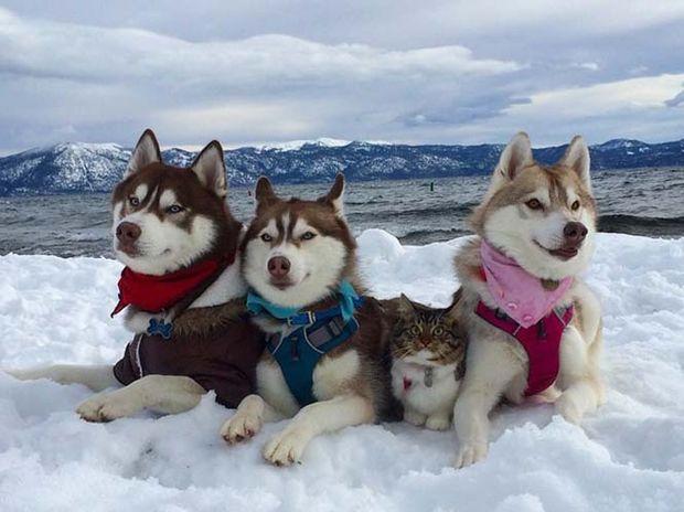 Τα τρία πανέμορφα χάσκι έσωσαν τη γατούλα και έγιναν οι καλύτεροί της φίλοι! (photos)