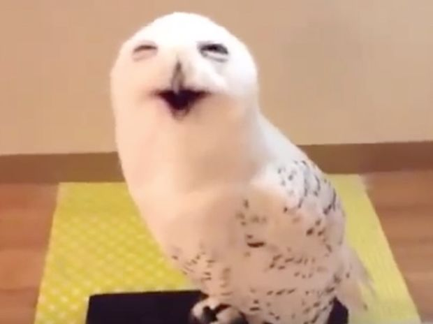 Απίστευτο! Δείτε την κουκουβάγια που το γέλιο της είναι σαν του ανθρώπου! (video)