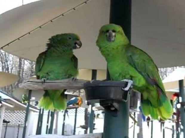 Παπαγάλοι εν δράσει! Καυγαδίζουν σαν να είναι χρόνια παντρεμένο ζευγάρι! (video)