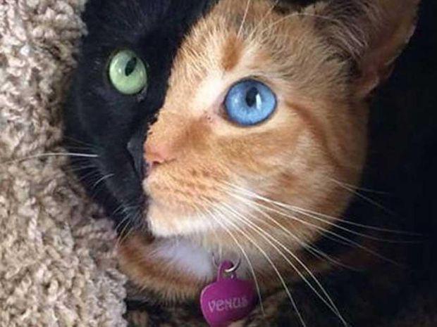 Αυτή η πανέμορφη γάτα είναι η πιο «διπρόσωπη» στον κόσμο! (photos)