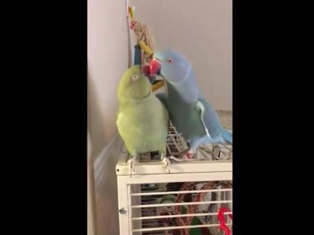 Τα παπαγαλάκια είναι τόσο αγαπημένα που ανταλλάσσουν συνέχεια φιλιά μεταξύ τους! (video)