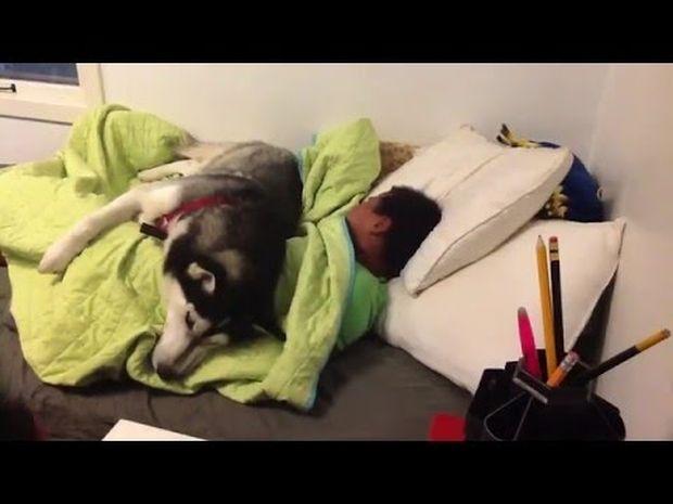 Ξεκαρδιστικό! Το χάσκυ θέλει να χουζουρέψει και δεν αφήνει να του πάρουν το πάπλωμα! (video)