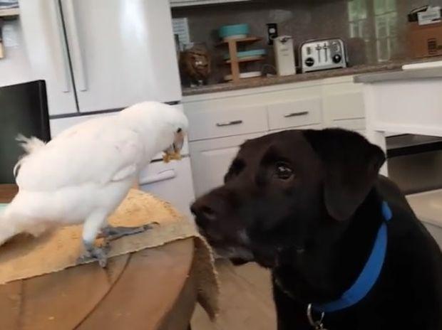 Το είδαμε κι αυτό! Παπαγάλος ταΐζει λαμπραντόρ! (video)