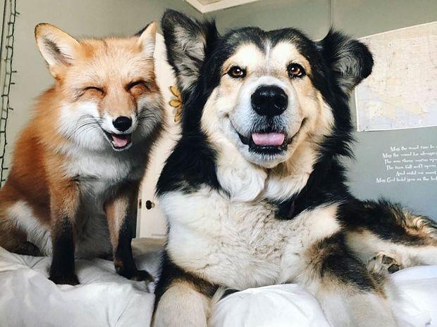 Δείτε την αλεπού και τον σκυλάκο που έχουν γίνει αχώριστοι φίλοι! (video)
