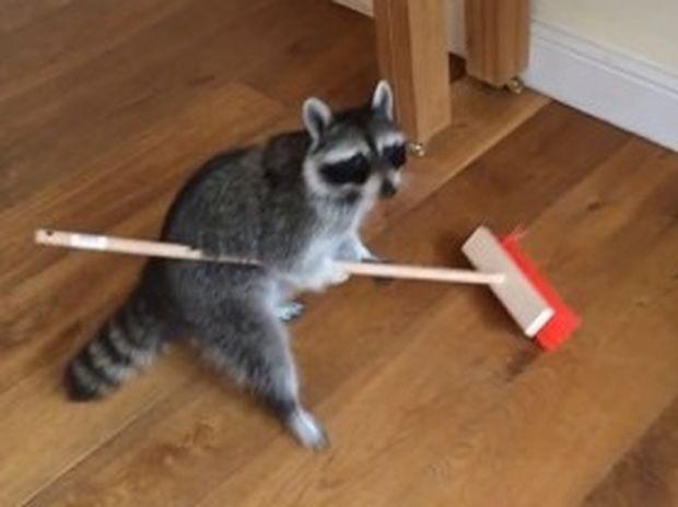 Απίθανο! Το ρακούν σκουπίζει το πάτωμα και μετά ζητάει την αμοιβή του! (video)