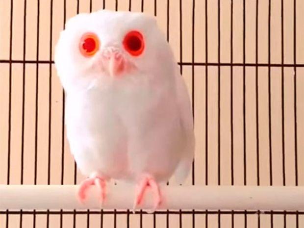 Δείτε την κουκουβάγια με τα πιο ιδιαίτερα μάτια στον κόσμο! (video)
