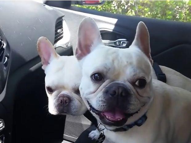 Τα μικρά μπουλντόγκ δεν μπορούν να κρύψουν τη χαρά τους για τη βόλτα στο πάρκο! (video)