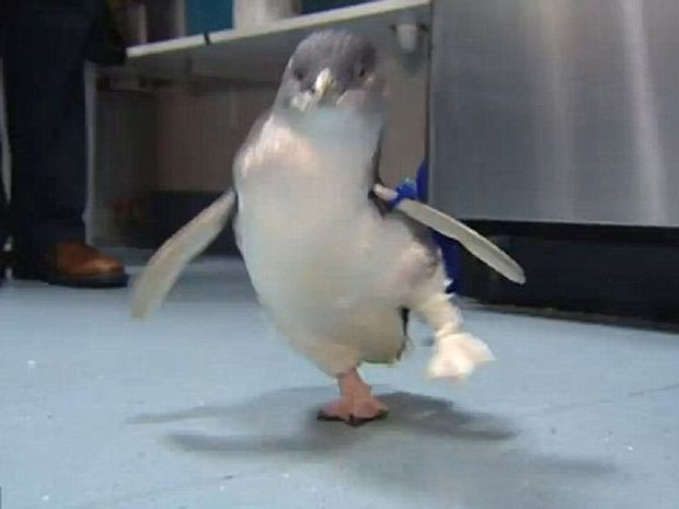 Ακρωτηριασμένος πιγκουίνος περπατάει ξανά με το νέο του προσθετικό μέλος! (video)