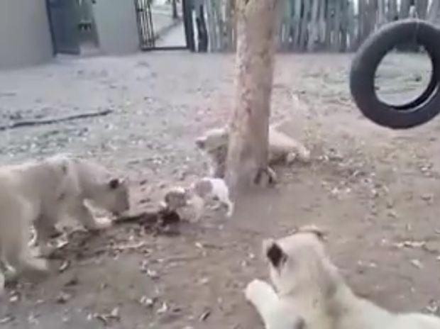 Ξεκαρδιστικό! Το κουτάβι προστατεύει το φαγητό του από τρία λιοντάρια! (video)