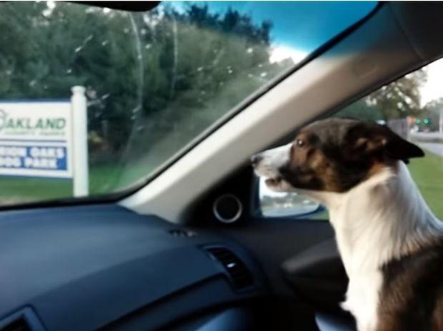 Η χαρά του σκυλάκου είναι απερίγραπτη όταν καταλαβαίνει ότι πάει στο πάρκο! (video)