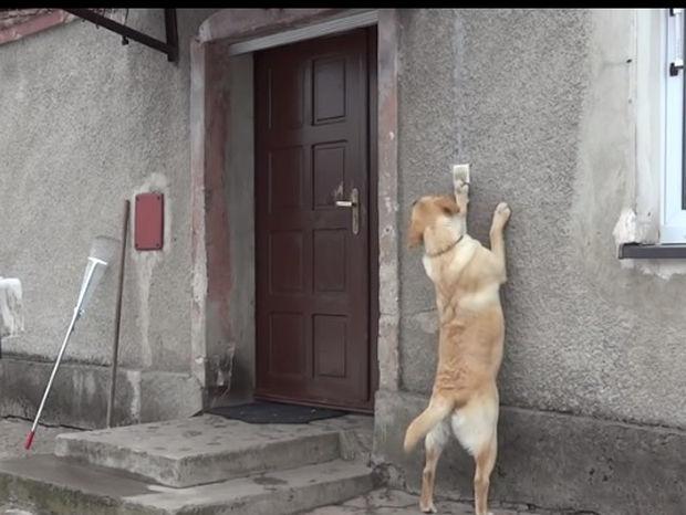Απίστευτο! Το λαμπραντόρ χτυπάει το κουδούνι για να μπει στο σπίτι! (video)
