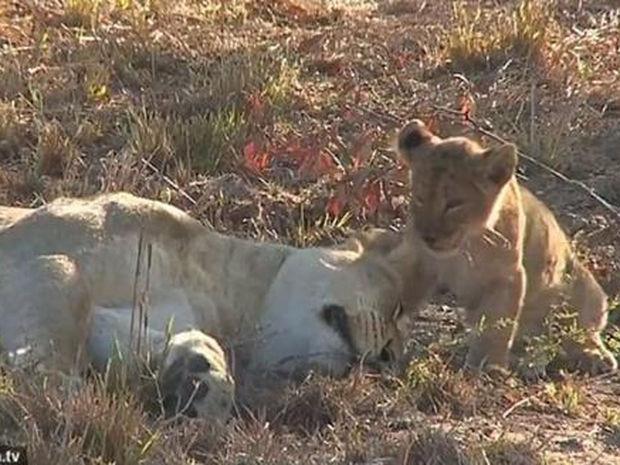 Ό,τι πιο γλυκό θα δείτε σήμερα! Το λιονταράκι ξυπνάει τη μαμά του για μια αγκαλιά! (video)