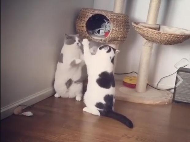 Έτσι λύνουν οι γάτες τις διαφορές τους! (video)