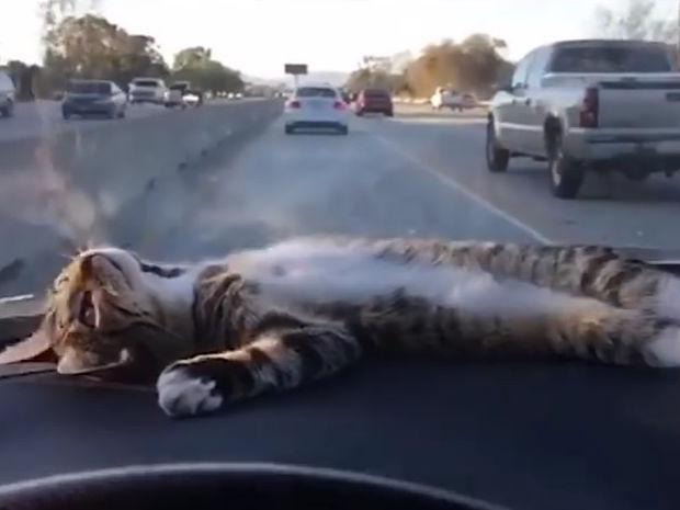 Η γάτα απολαμβάνει τη βόλτα με το αμάξι! Ό,τι πιο χαλαρωτικό θα δείτε σήμερα!