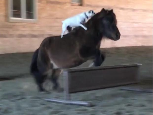 Απίστευτο! Ο σκυλάκος κάνει ιππασία σαν επαγγελματίας! (video)